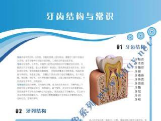 爱齿竖版蓝色口腔挂图――牙齿结构